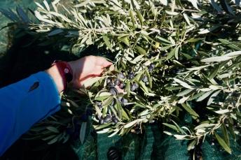 Olive harvest, Hvar, Croatia