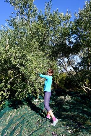 In on the action. Olive Harvest, Hvar, Croatia