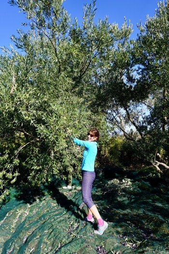 In on the action. Olive Harvest, Hvar, Croatia