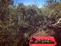 Helping with olive harvest on Hvar, Croatia.
